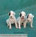 cachorros-boxer-blancos-1.jpg
