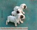 cachorros-boxer-blancos-2.jpg