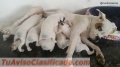 cachorros-boxer-blancos-3.jpg