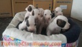 cachorros-boxer-blancos-4.jpg