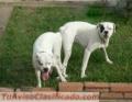 cachorros-boxer-blancos-5.jpg